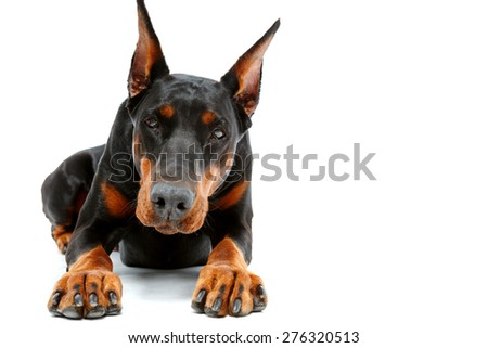 Ready set go. Portrait of lying dobermann pinscher on white isolated background. - stock photo