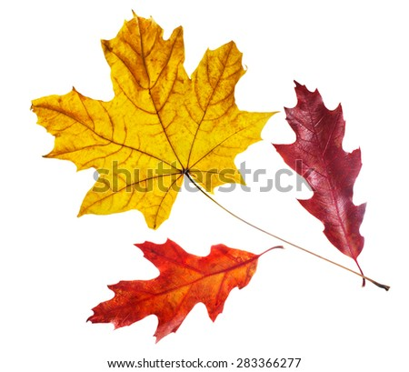 Red and Yellow Maple Leaves close-up on a white background. - stock photo