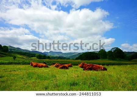 Red Angus cattle, grazing out on lush pasture in summer time near to Ambleside,Cumbria, United Kingdom - stock photo