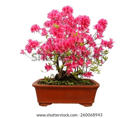 Red azalea bonsai isolated on white background  Red azalea bonsai - stock photo