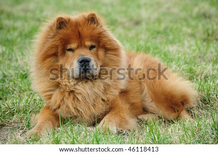 red chow On a green grass - stock photo