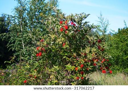 Red elder or elderberry (sambucus) shrub.                                - stock photo