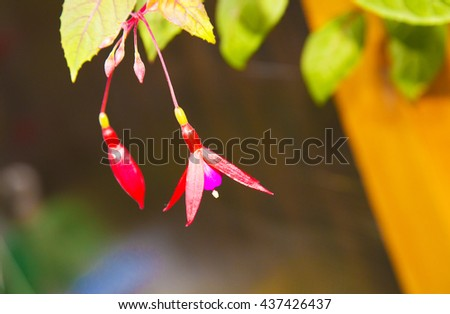 red flower,small red flower,red petals,long petals,hanged flowers,flowers in vase,cute red flower,lovely flowers,sensitive flowers,delicate red  flowers,spring flowers,trees flowers,red flowers tree - stock photo