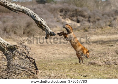 Red fox jumps from a dead tree - stock photo