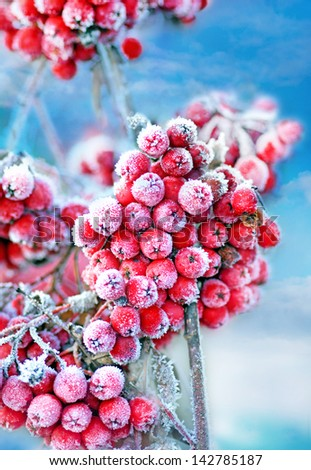 Red frozen rowan berries on blue sky - stock photo