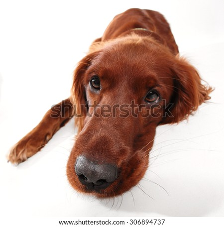 Red Irish Setter, isolated on white  - stock photo