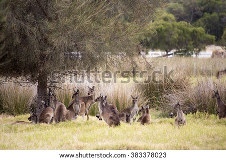 Red kangaroo  mob (Macropus rufus)  the largest of all kangaroos, the largest terrestrial mammal native to Australia grazing in a green grassy paddock  on  cloudy morning  in autumn. - stock photo