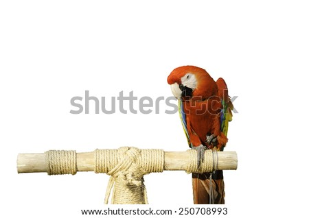 red parrots beautiful and white background - stock photo