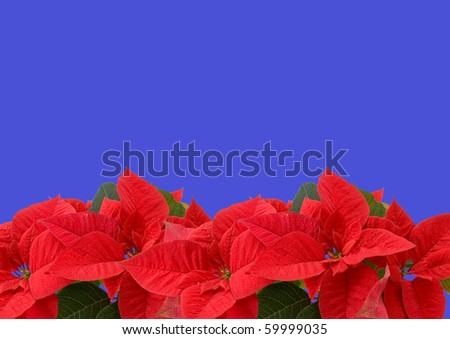 Red poinsettia isolated on a blue background - stock photo