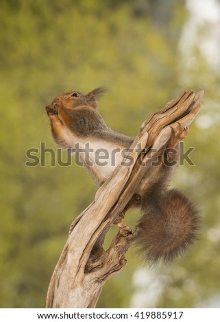 red squirrel holding on to a tree trunk - stock photo