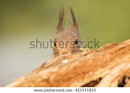 red squirrel  standing behind behind tree trunk only head visible - stock photo