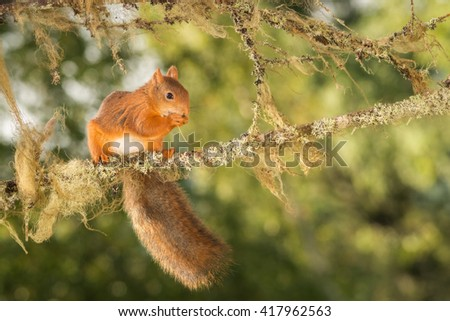 red squirrel standing on branch with moss - stock photo