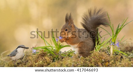 red squirrel standing on moss looking at a nuthatch with flowers between - stock photo