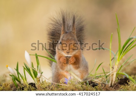 red squirrel standing on moss with crocus  - stock photo