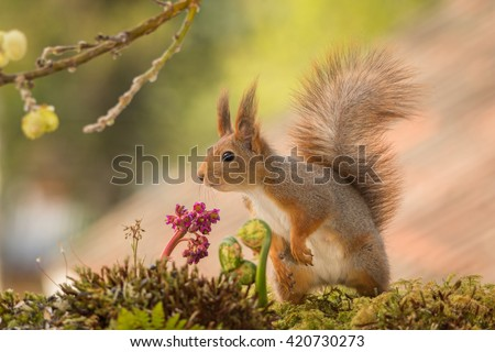 red squirrel standing on moss with flowers and ferns - stock photo