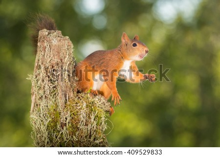 red squirrel standing on tree trunk with moss - stock photo