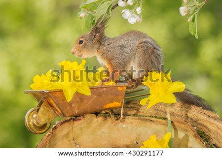 red squirrel  standing with wheelbarrow and daffodil flowers looking - stock photo