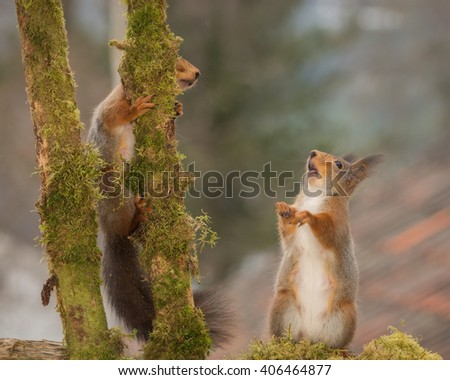 red squirrels standing between 2 branches with moss  - stock photo