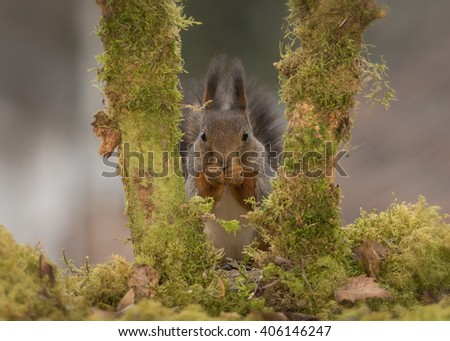 red squirrels standing between tree trunks with moss  - stock photo