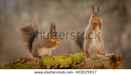 red squirrels standing on tree trunk with moss - stock photo
