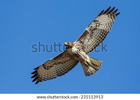 Red-tailed Hawk in flight - stock photo