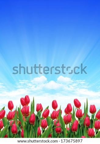 Red  Tulips - stock photo