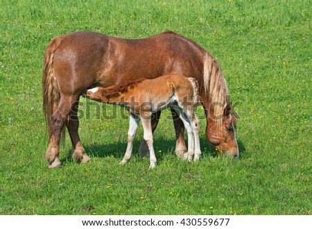 Redhead sucking foal Palomino Mare on green meadow. - stock photo