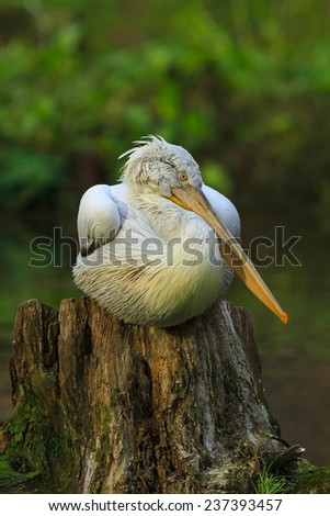 resting is pelican  - stock photo