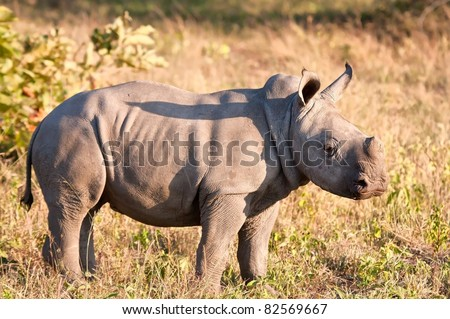 Rhino  calf in nature green grass alone looking - stock photo