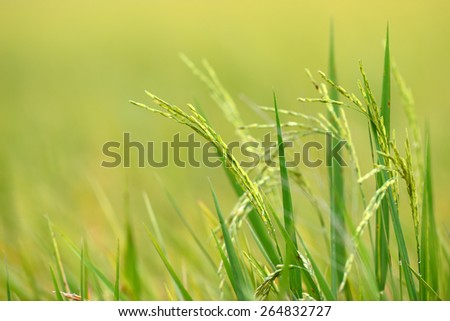 rice fields thailand - stock photo