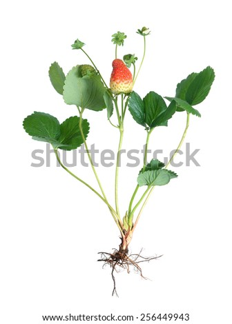 ripe and young strawberry with flower on vine and root  isolated on white  - stock photo