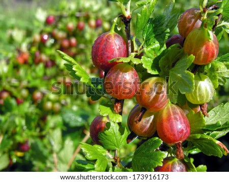 ripe gooseberries after the watering - stock photo