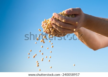 ripe soybeans after harvest - stock photo