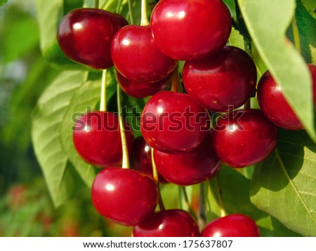 ripe sweet cherry on a tree in the garden - stock photo