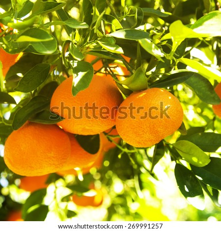 Ripe tangerines on a tree branch, close up - stock photo