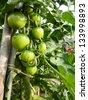 ripening green tomatoes. - stock photo