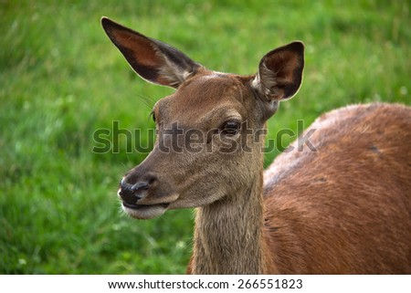 Roe deer/Roe deer close-up. Young roe deer in the forest. - stock photo