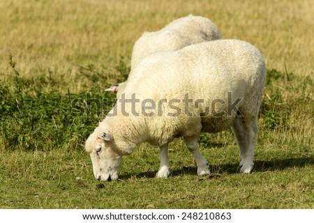 Romney Marsh sheep 10, portrait of a grazing sheep at Romney Marsh, Kent  - stock photo
