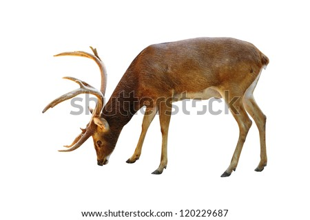 Rusa deer on a white background. - stock photo