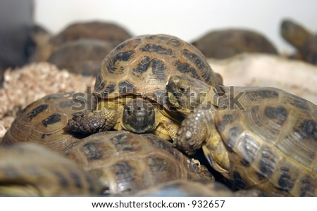 """""""russan tortoise"""" """"Testudo horsfieldii"""" """"Agrionemys horsfieldii"""" sit upon each other in - stock photo"""