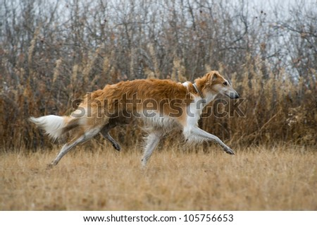 Russian wolfhound - stock photo
