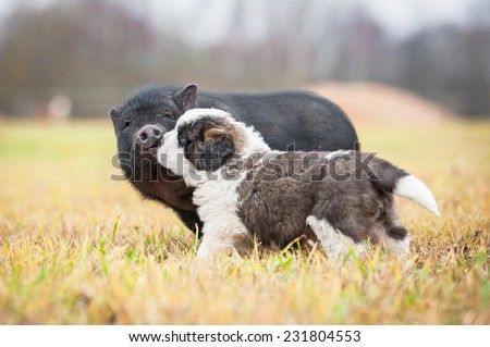 Saint bernard puppy with mini piggy walking outoors  - stock photo
