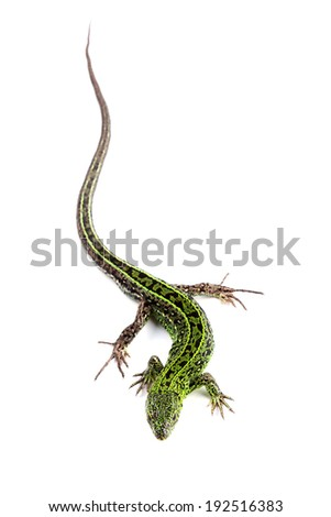 Sand lizard (Lacerta agilis) isolated on white - stock photo