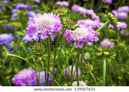 Scabious plant Scabiosa columbaria 'Pink Mist' in a garden. - stock photo