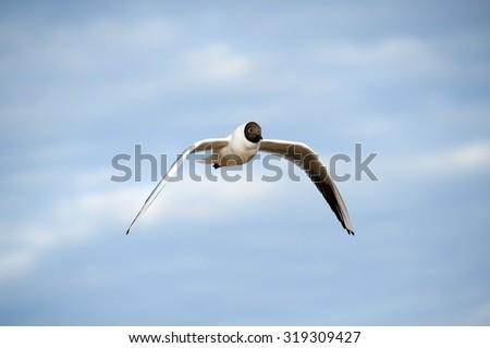 Sea gull in the sky. Seagulls in the sea. Seagull flies. Beautiful Seagull bird wildlife.  Surf waves. Closeup. The bird close. The coast of the ocean. Blue sky over the sea. The sea gull. - stock photo
