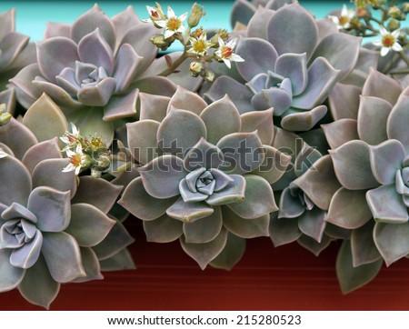 Sempervivum or houseleek flowers - stock photo