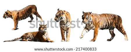 set of tigers. Isolated  over white background - stock photo