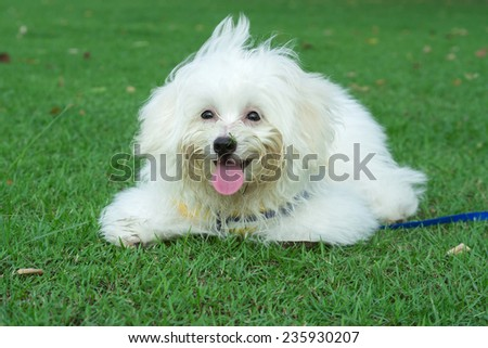 """Shih tzu"" puppy breed tiny dog , playfulness , loveliness - stock photo"
