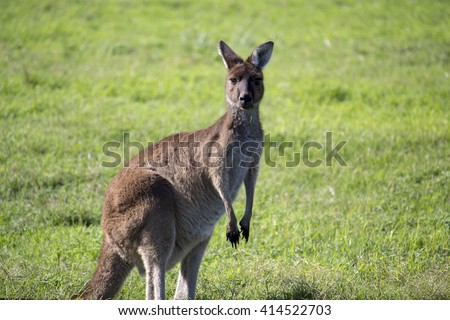 Shy Western grey kangaroo (Macropus fuliginosus) black-faced, or sooty kangaroo standing in a  paddock of green  grass near Australind, Western Australia on a sunny autumn morning  . - stock photo