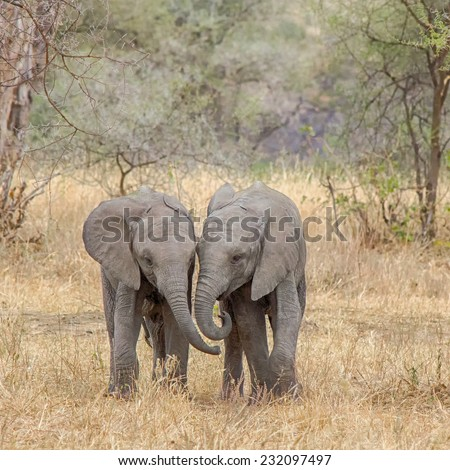 """Side-by-Side"": Two baby elephants walking side-by-side, Tarangire National Park, near Arusha, Tanzania, Africa - stock photo"